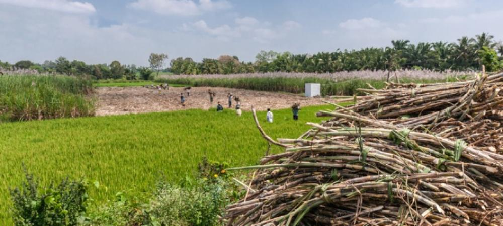 What might the future hold for India's sugarcane industry?